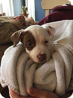Hound (Unknown Type)/Labrador Retriever Mix Puppy for adoption in Franklinville, New Jersey - Winter Wonderland Puppies