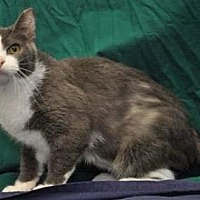 Adopt A Pet :: Shortail - mishawaka, IN
