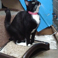 Domestic Shorthair Cat for adoption in Houston, Texas - Lacey