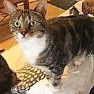 Adopt A Pet :: Cheetah - West Palm Beach, FL