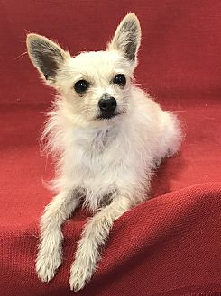 Chihuahua Mix Dog for adoption in Garland, Texas - Chino