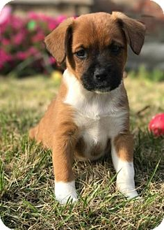 Boxer Mix Puppy for adoption in Hillsboro, Missouri - Poppie