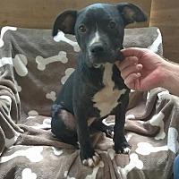 Adopt A Pet :: Sunflower - West Springfield, MA