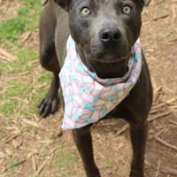 Adopt A Pet :: Andrew - Anderson, SC