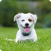 Adopt A Pet :: Cleaver - Bradenton, FL