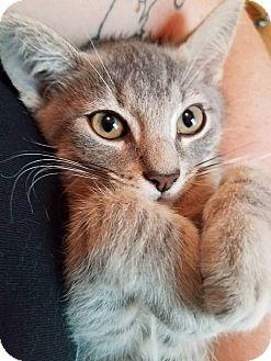 Domestic Shorthair Kitten for adoption in Alamo, California - Carter
