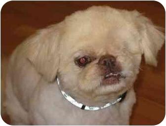 Pekingese Dog for adoption in Edmeston, New York - Petey-NY