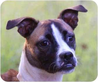 Boxer Mix Dog for adoption in Windham, New Hampshire - Molly