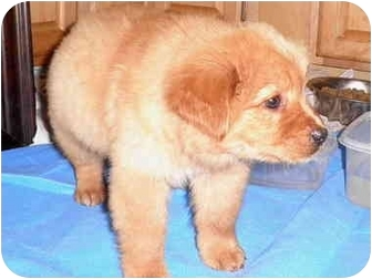 "Golden Retriever/Australian Shepherd Mix Puppy for adoption in Brooksville, Florida - ""JARED"" JEWELERS"
