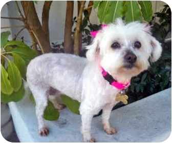 Maltese/Poodle (Miniature) Mix Dog for adoption in Los Angeles, California - PORTIA