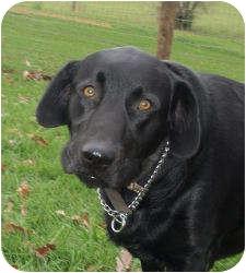 Labrador Retriever Mix Dog for adoption in Shelbyville, Kentucky - Brock
