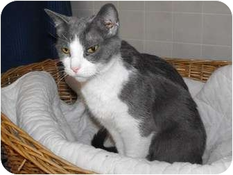 Domestic Shorthair Cat for adoption in Byron Center, Michigan - Little Kitty