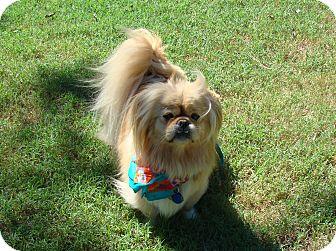 Tibetan Spaniel Dog for adoption in Muldrow, Oklahoma - Chewie