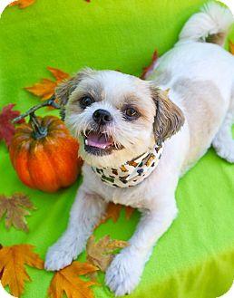 Shih Tzu Dog for adoption in Irvine, California - Benji
