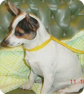 Rat Terrier Dog for adoption in Tahlequah, Oklahoma - Bridget