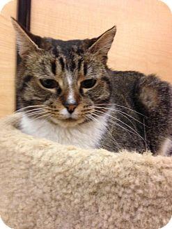 Domestic Shorthair Cat for adoption in Monroe, Georgia - Kensy