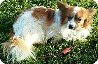 Papillon Dog for adoption in Oswego, Illinois - Pressley