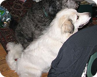 Great Pyrenees Dog for adoption in Lee, Massachusetts - Luna - in MA