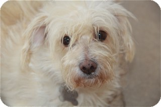Poodle (Miniature)/Border Terrier Mix Dog for adoption in Norwalk, Connecticut - Clementine