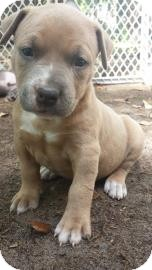 Pit Bull Terrier Mix Puppy for adoption in Gainesville, Florida - Kenzi