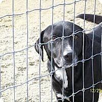 Border Collie/Labrador Retriever Mix Dog for adoption in Mexia, Texas - Donald