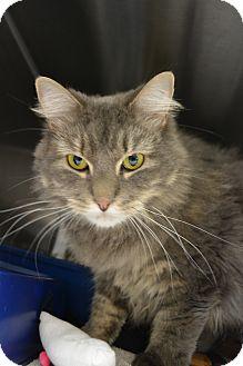 Domestic Longhair Cat for adoption in Bay Shore, New York - Lori