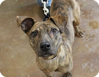Mountain Cur Mix Dog for adoption in Chicago, Illinois - Gamay