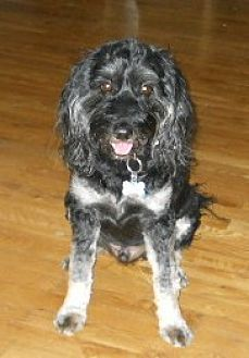 Cocker Spaniel/Poodle (Miniature) Mix Dog for adoption in dewey, Arizona - Barkley