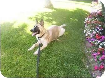 Australian Shepherd/Akita Mix Dog for adoption in LosAngeles, California - Woody