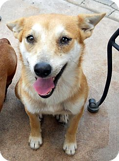 Shiba Inu/Terrier (Unknown Type, Medium) Mix Dog for adoption in Oakley, California - Silas