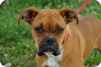 Boxer Dog for adoption in Brentwood, Tennessee - Lucy