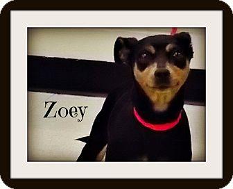 Miniature Pinscher Mix Dog for adoption in Defiance, Ohio - Zoey