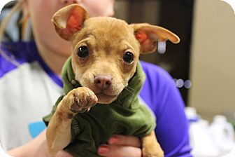 Chihuahua Puppy for adoption in Hershey, Pennsylvania - Malachi