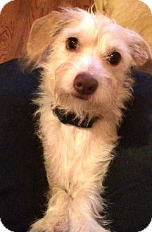 Cairn Terrier/Jack Russell Terrier Mix Dog for adoption in Boulder, Colorado - Henry-Adoption Pending