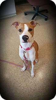 Hound (Unknown Type)/American Pit Bull Terrier Mix Dog for adoption in Youngstown, Ohio - Sadie ~ Adoption Pending