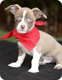 Terrier (Unknown Type, Small) Mix Puppy for adoption in Rancho Palos Verdes, California - Charlie