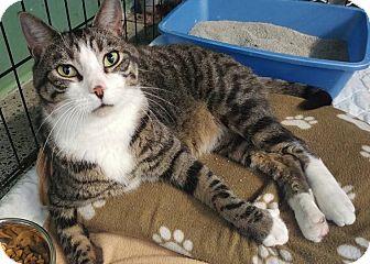 Domestic Shorthair Cat for adoption in Freeport, New York - Sampson
