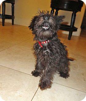 Schnauzer (Miniature) Puppy for adoption in Plano, Texas - HEIDI - LOVABLE LITTLE PUP