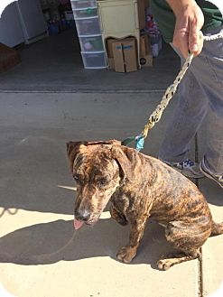 Catahoula Leopard Dog/Boxer Mix Dog for adoption in Chico, California - Dottie