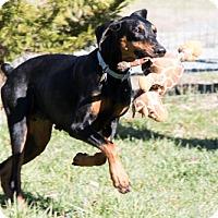 Adopt A Pet :: GODIVA - Greensboro, NC
