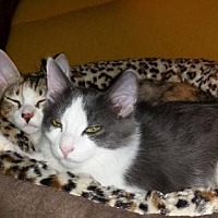 Domestic Shorthair Cat for adoption in Satellite Beach, Florida - Calli & Lil Bit