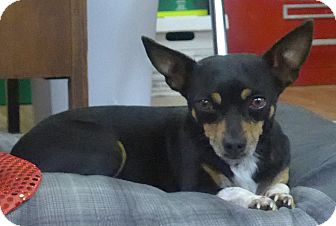 Chihuahua Mix Dog for adoption in Manning, South Carolina - Bella
