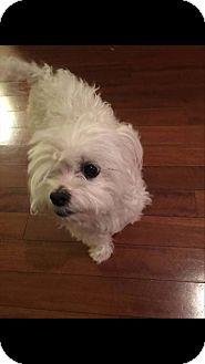 Maltese Dog for adoption in Alpharetta, Georgia - Molly