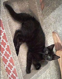 Domestic Shorthair Kitten for adoption in Lebanon, Pennsylvania - Bobby