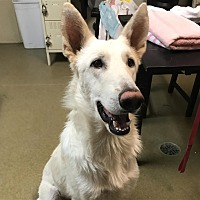 Adopt A Pet :: Bolt - Riverside, CA