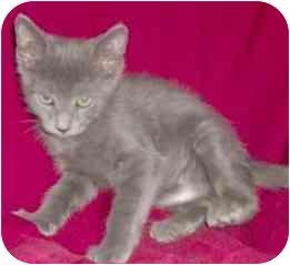 Domestic Shorthair Kitten for adoption in Kansas City, Missouri - Pickles