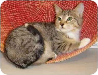 Domestic Shorthair Kitten for adoption in Cincinnati, Ohio - TiPPeR