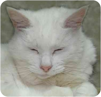 Domestic Shorthair Cat for adoption in Cranston, Rhode Island - BLIZZARD