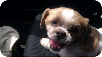 Shih Tzu Dog for adoption in Middle Village, New York - NICHOLAS