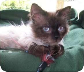 Ragdoll Cat for adoption in Columbus, Ohio - Austin